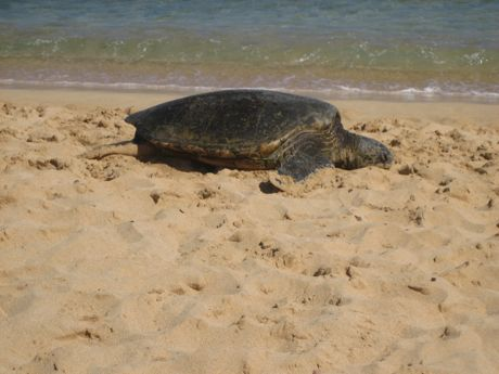 This is the big turtle on the beach...